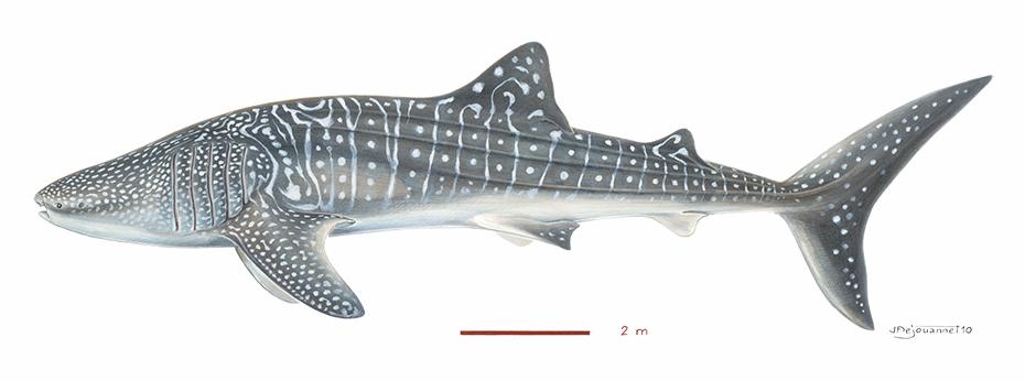 Requin baleine rhincodon typus cabinet de curiosit s 3d - Coloriage de requin baleine ...